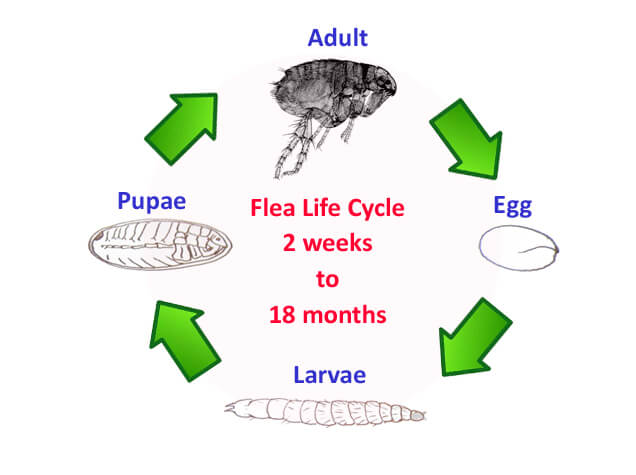 cat flea life-cycle
