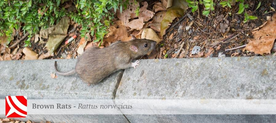 Bristol rat control services in urban gardens, homes and businesses targeting rodents ethically