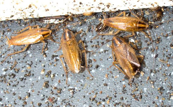 cockroaches in house