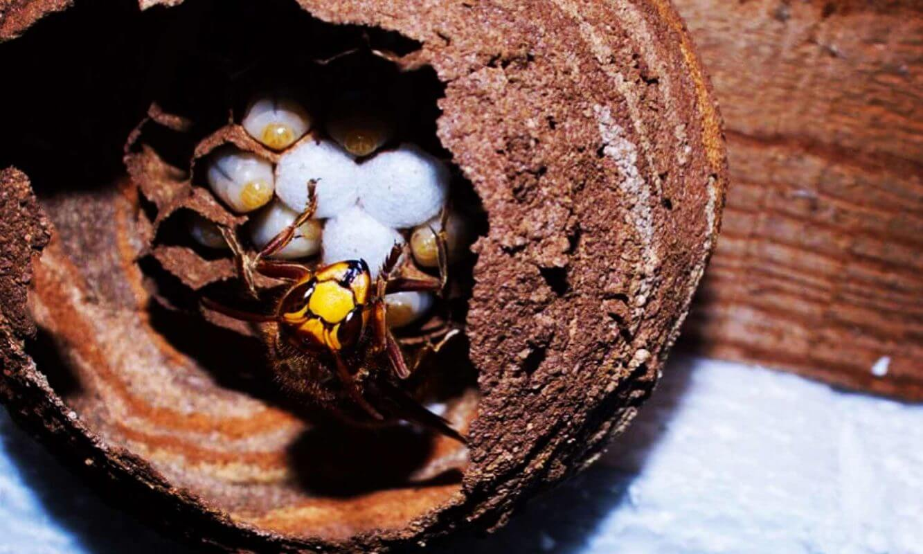 hornet queen on hornets nest