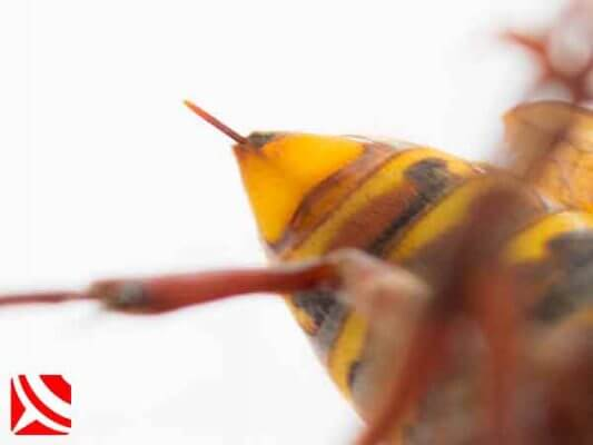 The stinger of a queen hornet