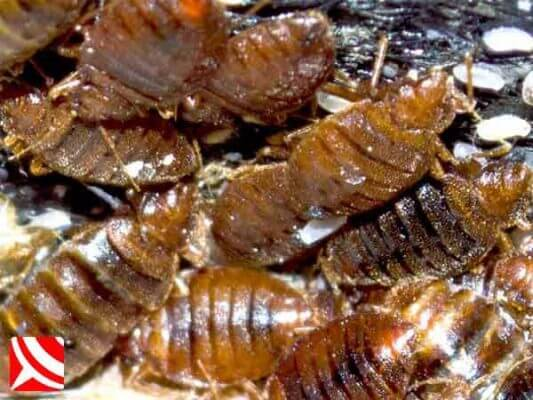Macro of bedbugs on a bed frame