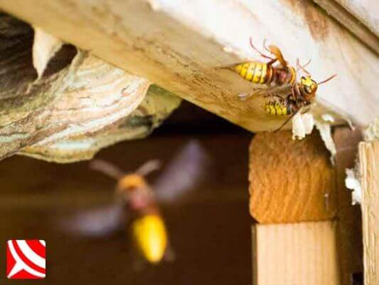 Hornets in a wooden shed