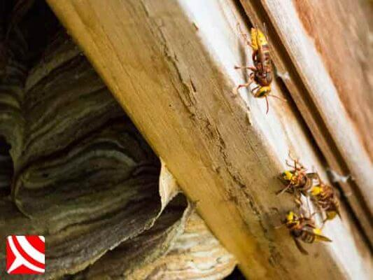 Hornets resting on a shed