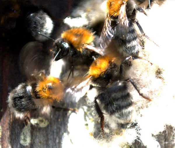 bristol bumble bee control