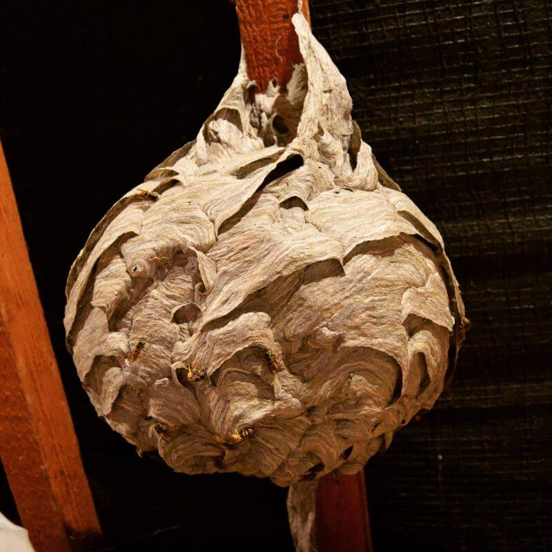 german wasps nest