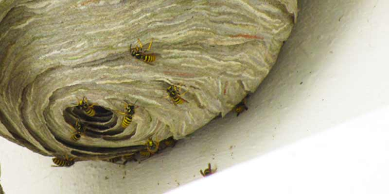 spherical wasps nest bristol