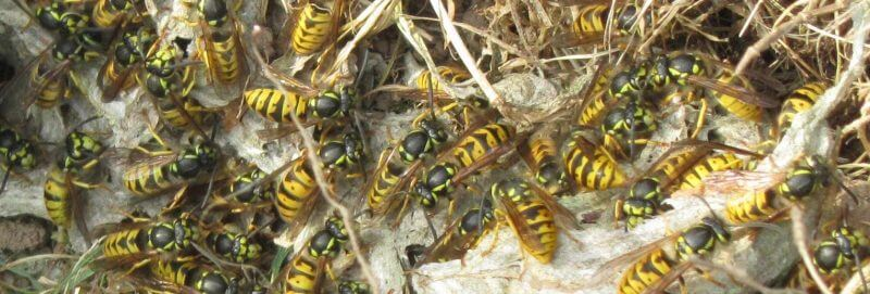 german wasps in nest attacked by badgers