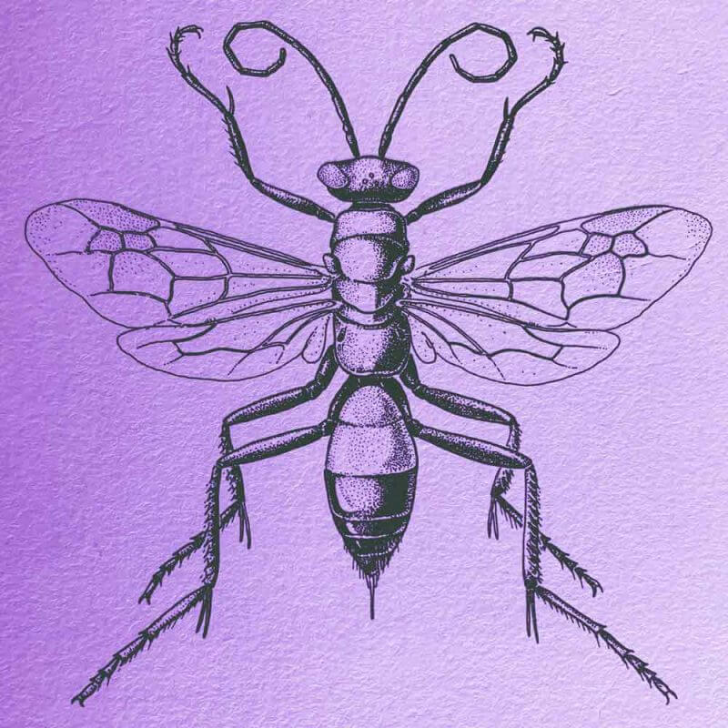 scientific wasp insect illustration