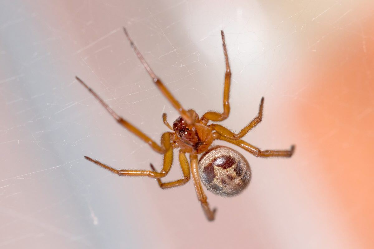 noble false widow uk