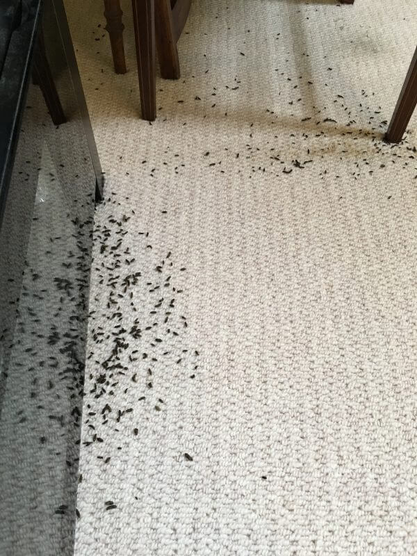 mouse droppings